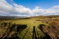 Охотиться овцы Стоковые Изображения RF