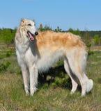 Охотиться русская собака стоковое изображение