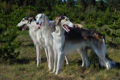 Охотиться русские собаки wolfhound стоковое фото