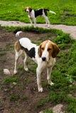 охотиться собак Стоковая Фотография RF