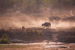 Охотиться львов Стоковые Изображения RF