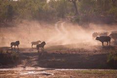Охотиться львов Стоковое фото RF