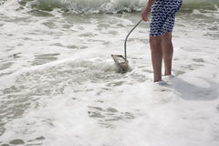 Охотиться для зубов акулы на пляже Флориде Венеции Стоковая Фотография
