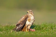 Охотник в траве Птицы молят общий канюка, канюка канюка, сидя в траве с запачканным зеленым лесом в предпосылке comm Стоковые Изображения RF