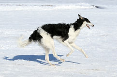 Охотничья собака в движении Стоковое Изображение RF