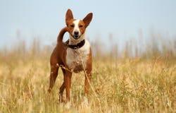 охотничья собака в поле стоковые фото
