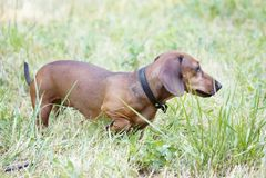Охотничья собака идет вдоль таксы травы, выхода пластов стоковое изображение