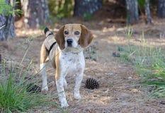 Охотничья собака кролика бигля Стоковое Изображение