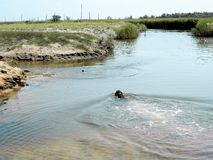 Охотничья собака плавает держащ объект в его зубах для aportirovka Процесс тренировки стоковая фотография rf