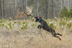 Охотничья собака с фазаном Стоковые Фотографии RF
