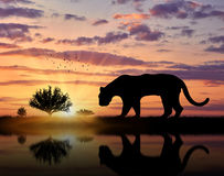 Охоты дикого животного ягуара на заходе солнца Стоковое Фото