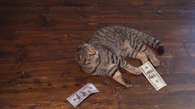 Охоты кота для денег сток-видео