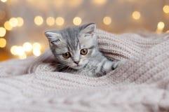 Охоты котенка Британии маленькие Стоковые Изображения RF