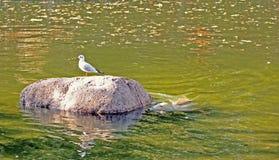 Охоты уплотнения для чайки Стоковое Фото