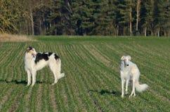 2 охотясь русских wolfhounds Стоковые Фотографии RF