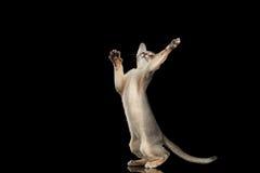 Охотящся лапки абиссинского котенка заразительные изолированные на черной предпосылке стоковое фото