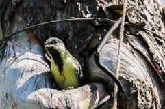 охрана животных природы полости птенеца птицы Стоковая Фотография RF