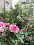 Охраняющий цветок пинка ботанического сада стоковая фотография rf