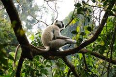 Охлаждать обезьяны Стоковые Фото