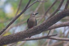 Охлаждать Woodpecker Стоковое фото RF