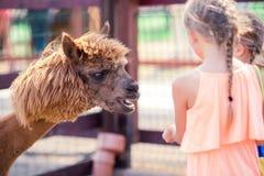 Очаровательная маленькая девочка играет с милой альпакой в парке Стоковое фото RF
