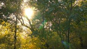 Очаровательное солнце излучает красиво освещающ лес бука в ярких тенях свежего зеленого цвета на осени сток-видео