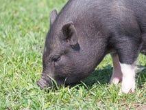 Очаровательная мини свинья на выгоне Стоковая Фотография RF