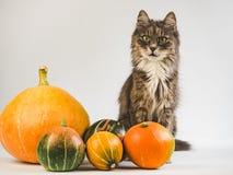 Очаровывать, серый котенок и зрелые, пестротканые тыквы стоковое изображение