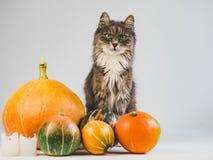 Очаровывать, серый котенок и зрелые, пестротканые тыквы стоковые фото