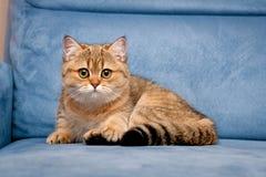 Очаровывая великобританский золотой котенок смотря камеру с большими зелеными глазами лежа на голубой софе стоковые фотографии rf