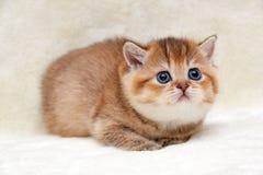 Очаровывая котенок redhead великобританский лежа на мягкой светлой предпосылке и милом смотреть вверх стоковые фотографии rf