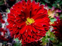 Очаровывая красный цветок стоковые изображения rf