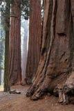 очаруйте секвойю национального парка Стоковая Фотография