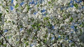Очень близкий взгляд цветков вишневого дерева на предпосылке голубого неба сток-видео