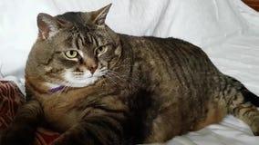 Очень большой пухлый кот лежа на софе и встряхиваниях его кабель с недовольством Избыточный вес в животных акции видеоматериалы