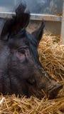 Очень большая свинья на сене Стоковые Фото