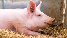Очень большая свинья на сене Стоковые Изображения RF