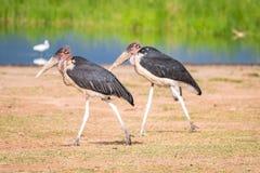 Очень большие птицы вызвали marabous Стоковые Изображения