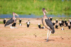 Очень большие птицы вызвали marabous Стоковое Изображение