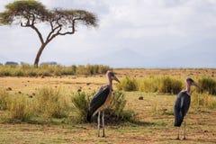 Очень большие птицы вызвали marabous Стоковое фото RF