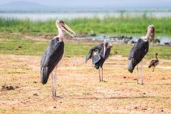 Очень большие птицы вызвали marabous Стоковая Фотография RF