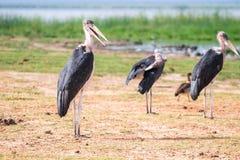Очень большие птицы вызвали marabous Стоковые Изображения RF