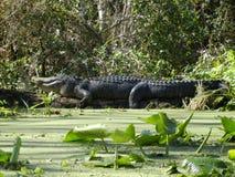 Очень большой аллигатор Стоковые Изображения RF