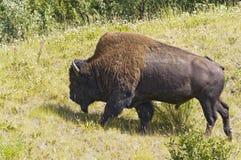 Очень большой бык бизона Стоковые Изображения