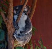 Очень большой смотреть коалы Стоковое Изображение