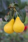 2 очень вкусное и зрелые груши на ветви дерева Стоковое Изображение