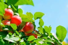 Очень вкусные вишн-сливы вися от ветви дерева Стоковые Изображения RF