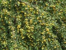 Очень вкусные вишн-сливы вися от дерева Стоковое Изображение