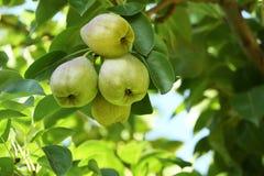 Очень вкусные груши на ветви в саде Стоковое Фото