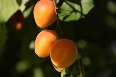 Очень вкусный абрикосы Стоковое фото RF